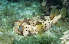 Puffer fish by Jett Britnell