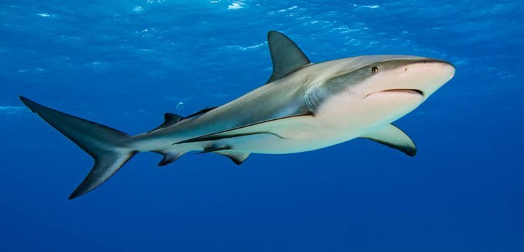 8. Caribbean reef sharks are the most commonly encountered reef shark in the Caribbean Sea