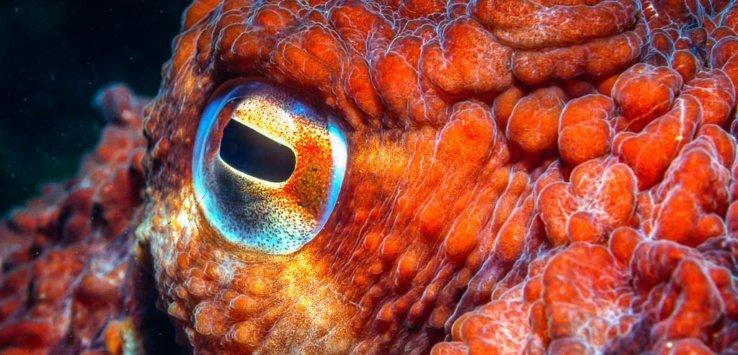 Octopus eye copyright by Jett Britnell 2