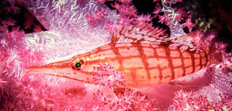 Study the fish to setermine what environment you will find them in Longnose Hawkfish copyright by Jett Britnell