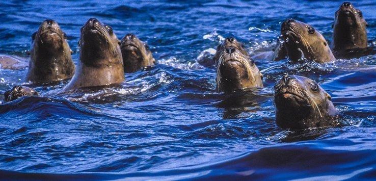 Steller sea lions Norris Rocks Jett Britnell